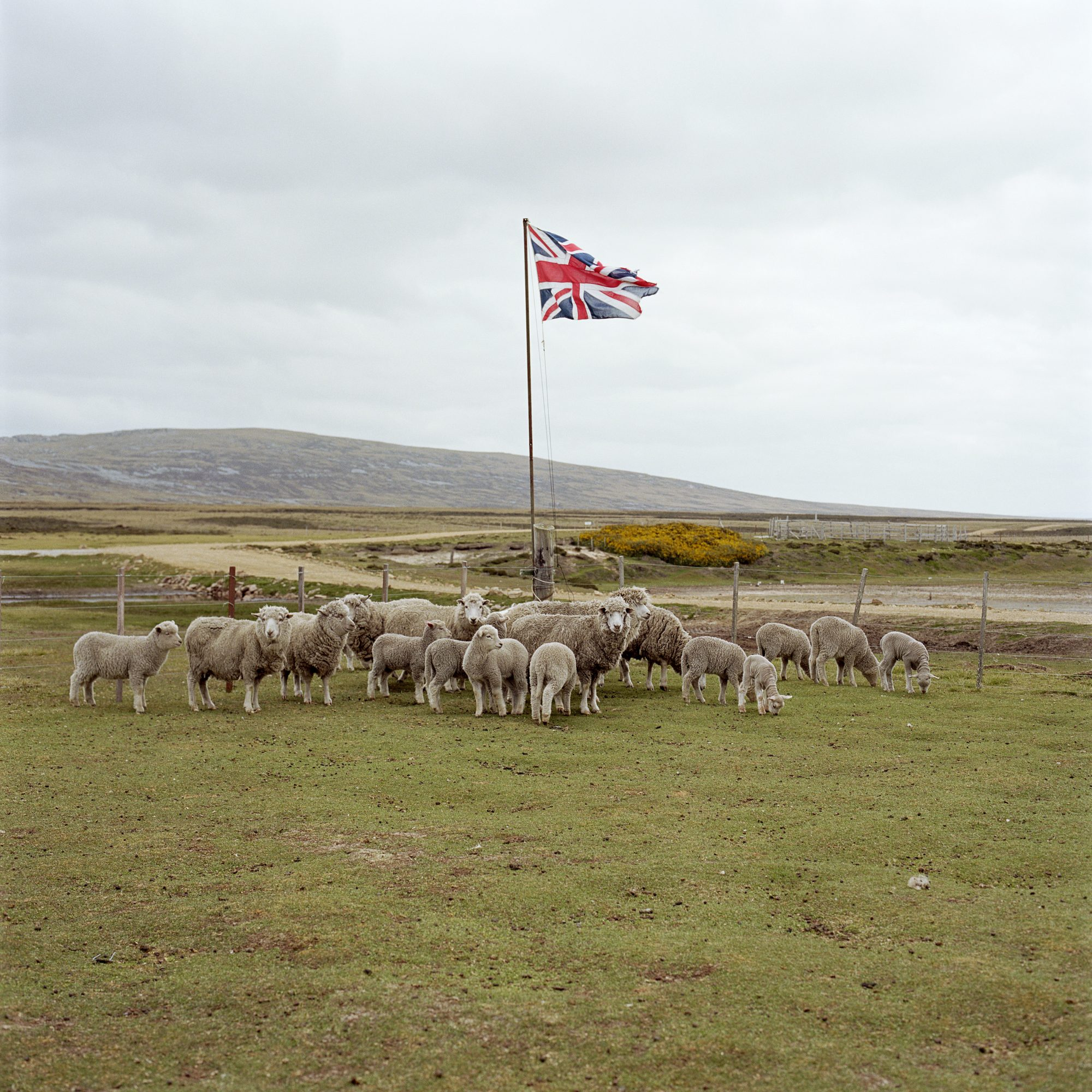 A Gather of Sheep photography by Jon Tonks